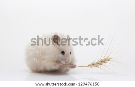 Hamster with food on a white background - stock photo