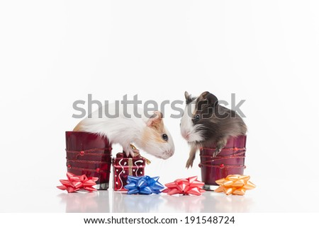 Hamsters. Funny hamsters choose gifts - stock photo