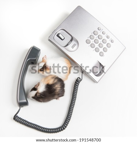 Hamsters. Funny hamsters talking on the phone - stock photo