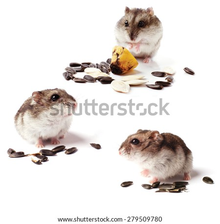 hamsters with grain isolated on white background - stock photo