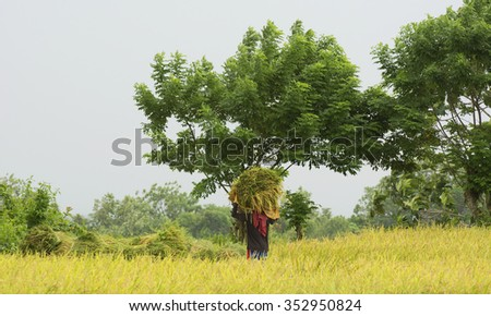 HAMTIC - PHILIPPINES - OCTOBER 18TH: Filipino workers harvesting rice on a cloudy day  in the Philippines - stock photo