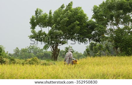 HAMTIC - PHILIPPINES - OCTOBER 18TH: Filipino workers harvesting rice on a cloudy day  in the Philippines