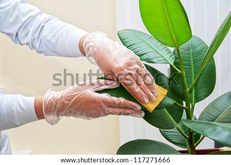 Hand at gloves cleaning ficus plant by wet sponge