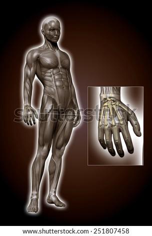 hand bones - stock photo
