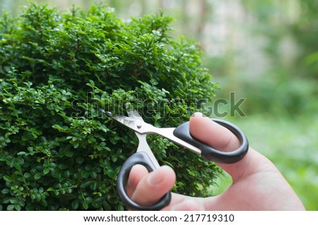 Hand cutting a bonsai tree (Murraya paniculata (L.) Jack.) - stock photo