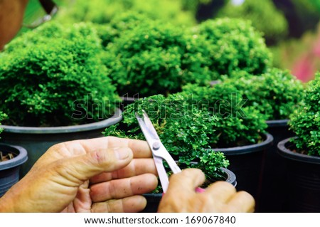 Hand cutting a Murraya paniculata Dwarf as a bonsai tree - stock photo