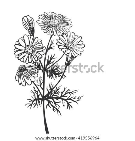 Hand drawing of a flower - camomile pharmaceutical. Light background dark pattern.