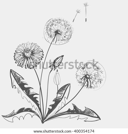 Hand drawing of a flower - dandelion. Light background dark pattern. - stock photo