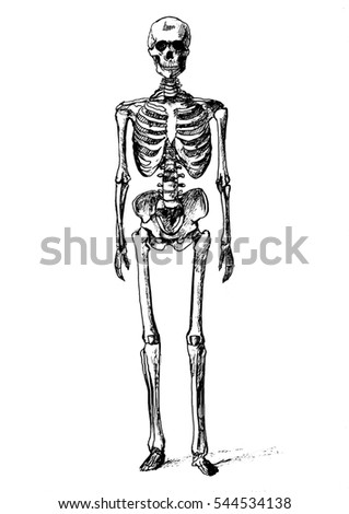 human skeleton stock vector 500904961 - shutterstock, Skeleton