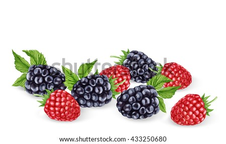 Hand-drawn illustration of  Blackberries and Raspberries. Digitally colored.