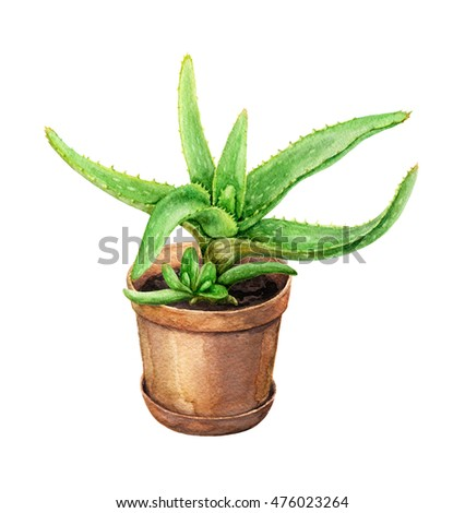 Hand drawn pot plant. Watercolor green Aloe Vera with young shoots  in  clay flowerpot isolated on white.