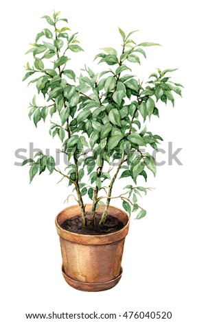 Hand drawn pot plant. Watercolor green Ficus Benjamina  in  clay flowerpot isolated on white.