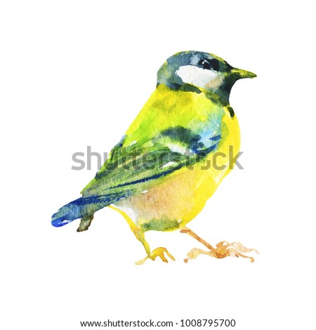 Hand drawn titmouse, Parus major. Watercolor wildlife illustration. Painting beautiful bird on white background