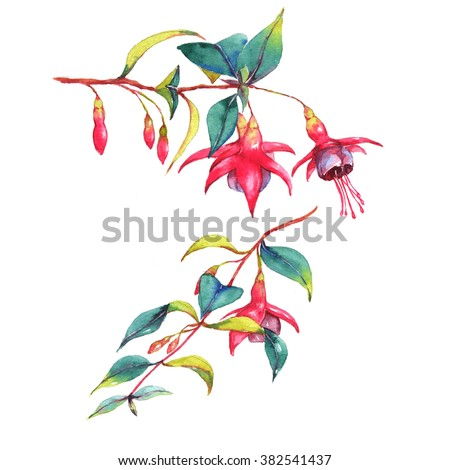 Hand-drawn watercolor  floral illustration of the colorful vibrant pink fuchsia branches. Tropical exotic flowers blossom isolated on the white background. Isolated drawing