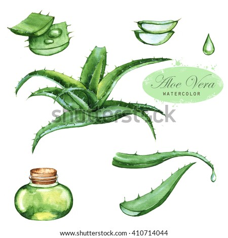 Hand-drawn watercolor illustration of the green aloe vera. Drawings of the sliced leaves, juice in the bottle and branch of the aloe plant, isolated and close up on the white background. - stock photo