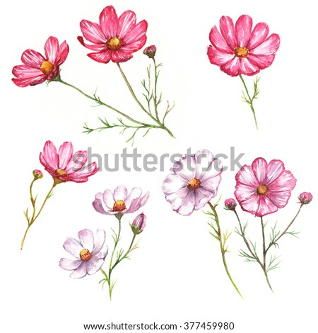 Hand-drawn watercolor isolated pink and white  flowers. Tender chamomiles blossom. Spring flowers isolated on the white background - stock photo