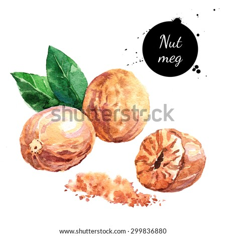 Hand drawn watercolor painting of nutmeg isolated on white background. Illustration of nut for your design - stock photo