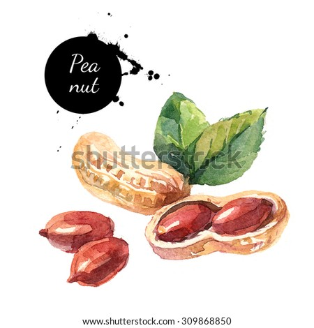 Hand drawn watercolor painting of peanut isolated on white background. Illustration of nut for your design - stock photo