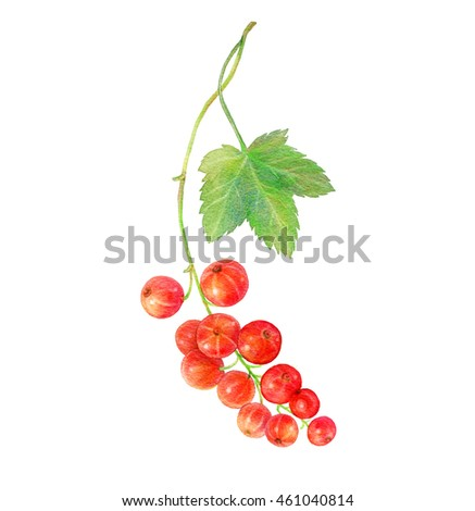 Hand drawn watercolor painting red currants with green leaf on white background. Botanical illustration.