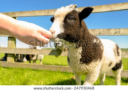 Hand feeding the goat kid at farm visitor centre