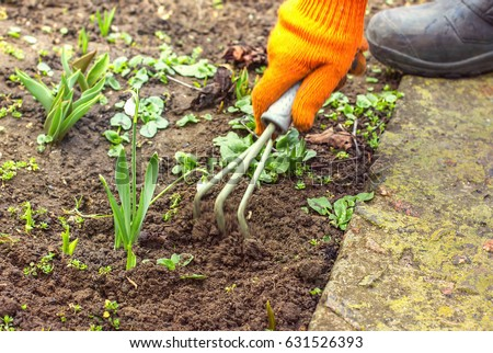 Hand female hoes weed in the garden, weeding grass, cleaning in the garden in spring soil preparation