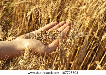 Hand full of wheat seeds, wheat ears background. You may also check my wheat set. - stock photo