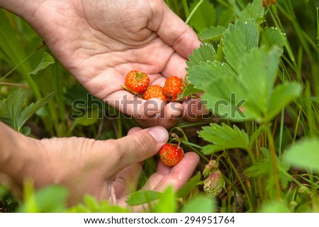 hand gathering of forest strawberries, closeup  - stock photo