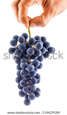 Hand holding a bunch of dark grapes on white background