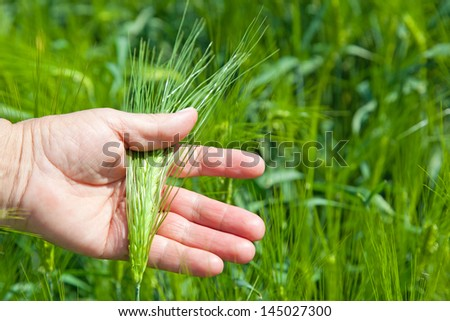 hand holding a ear of wheat on a field