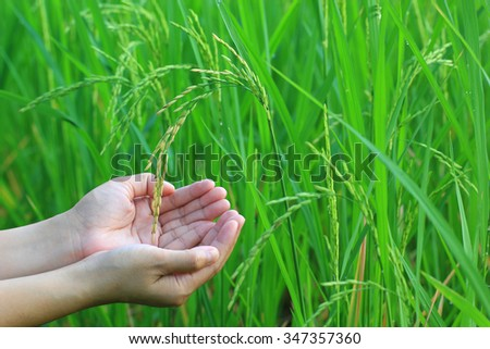 Hand holding a growing rice in farm thailand.