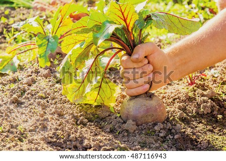 Hand holding a large, beautiful grown beet with beautiful leaves in the garden in summer sunset light.