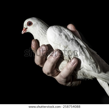 hand holding a white pigeon - stock photo