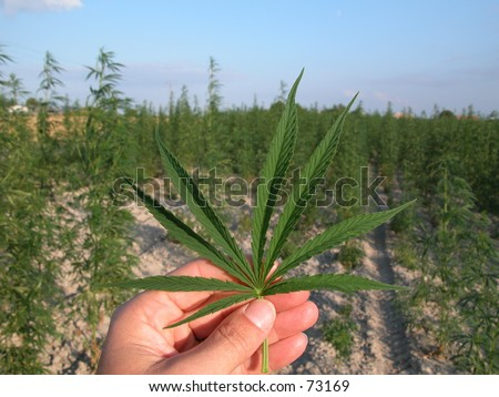 Hand holding cannabis leaves (marijuana) in front of cannabis plantation - stock photo