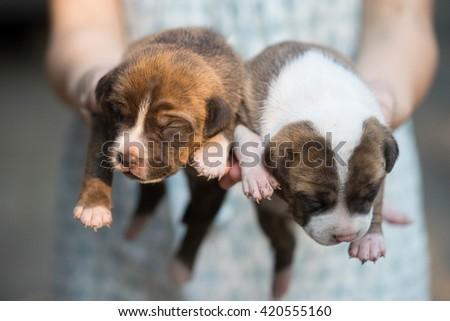 hand holding cute pitbull puppy dog - stock photo