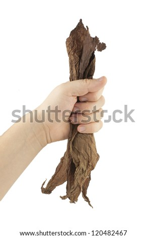 Hand holding dried tobacco leaves.White isolated