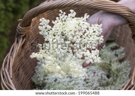 Hand holding elderflower over a basket - stock photo