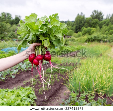 Hand holding fresh bunch of radish on green field background - stock photo