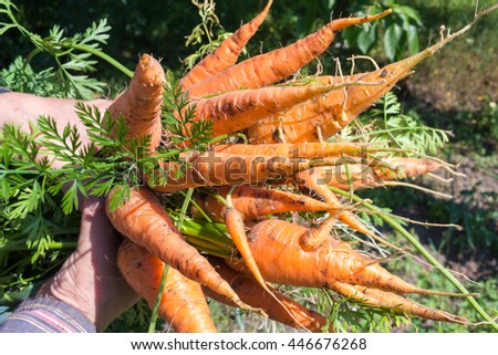 Hand holding fresh carrots bundle, bunch of organic vegetables - stock photo