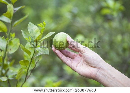 Hand holding fresh lemon from tree branch - stock photo