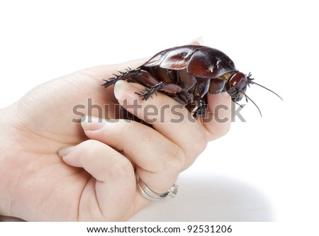 Hand holding giant burrowing cockroach - stock photo