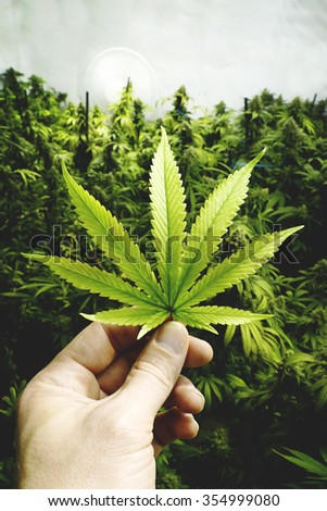 Hand Holding Marijuana Leaf by Indoor Cannabis Plants with Flat Vintage Style - stock photo