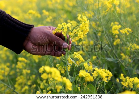 Hand holding mustard flowers in field - stock photo