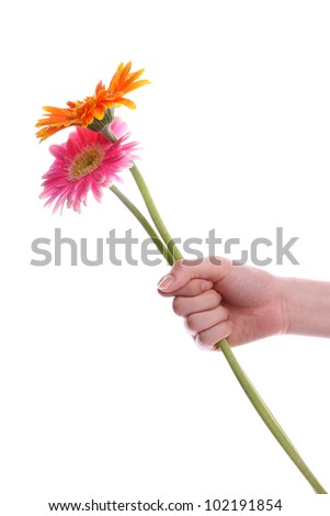 Hand holding pink and orange gerber daisy isolated on white