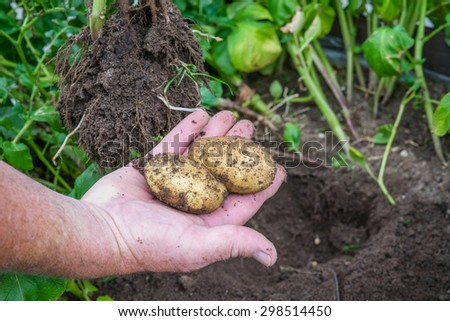Hand holding raw potatoes from a garden - stock photo
