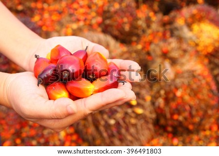 Hand holding red ripe oil palm fruitlets