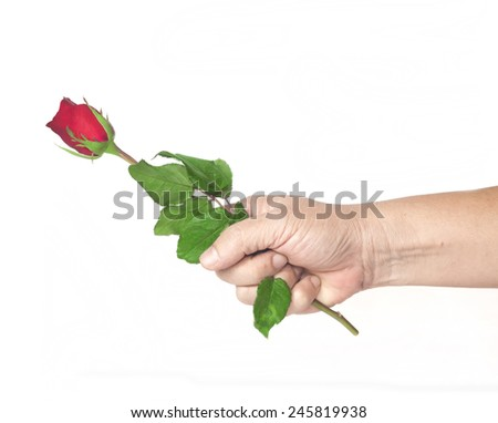 Hand holding red rose isolate on white