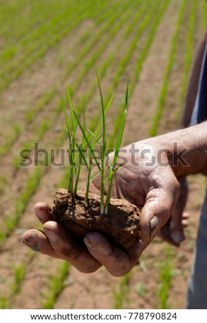 Hand holding rice seedlings, agronomist checking roots on young rice plants in Australia, not much rice is grown in Australia but the quality is very high.