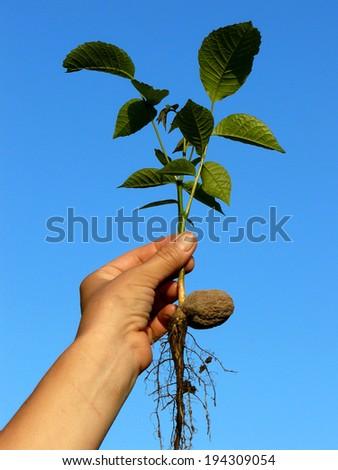 hand holding small walnut tree seedling - stock photo