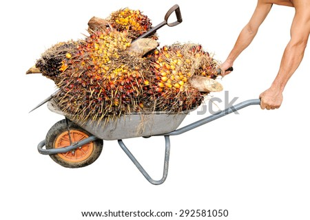 Hand holding trolley with palm oil fruits isolated on white background, selective focus.  - stock photo