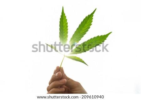 Hand holding Young leaf of marijuana. Closeup isolated on white background. - stock photo